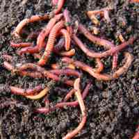 Eisenia Fetida - Wizzard Worms South Africa