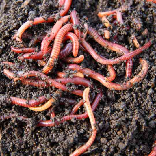 Eisenia Fetida - Wizzard Worms South Africa